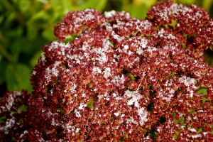 snow_on_flowers